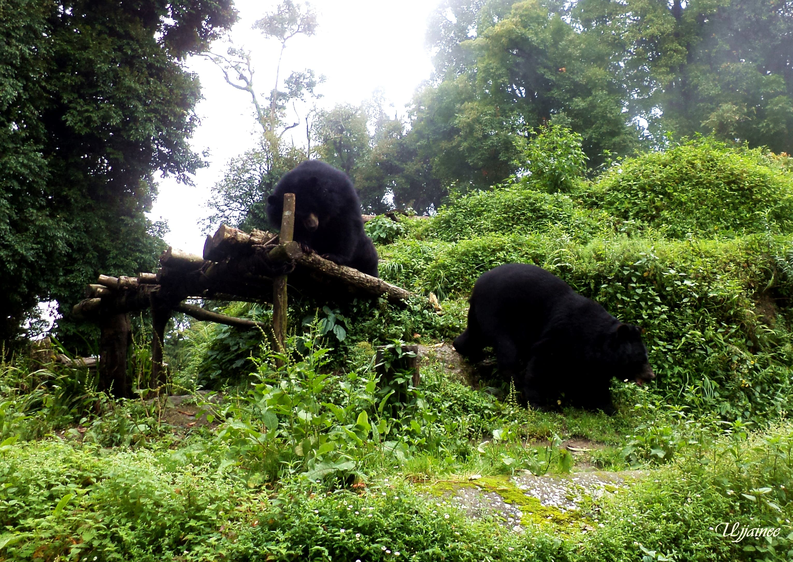 What to see at Padmaja Naidu Himalayan Zoological Park